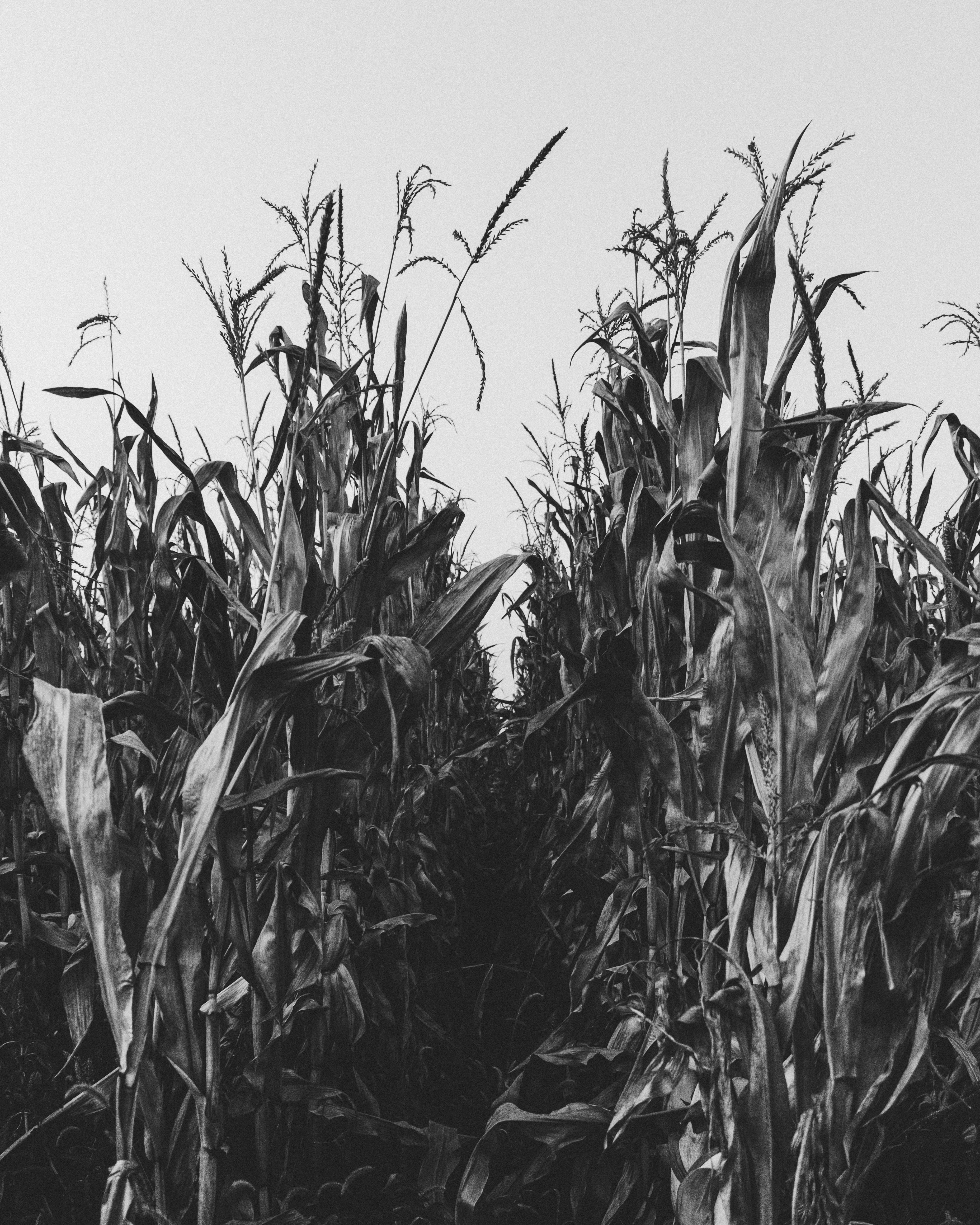 greyscale photography of corn field