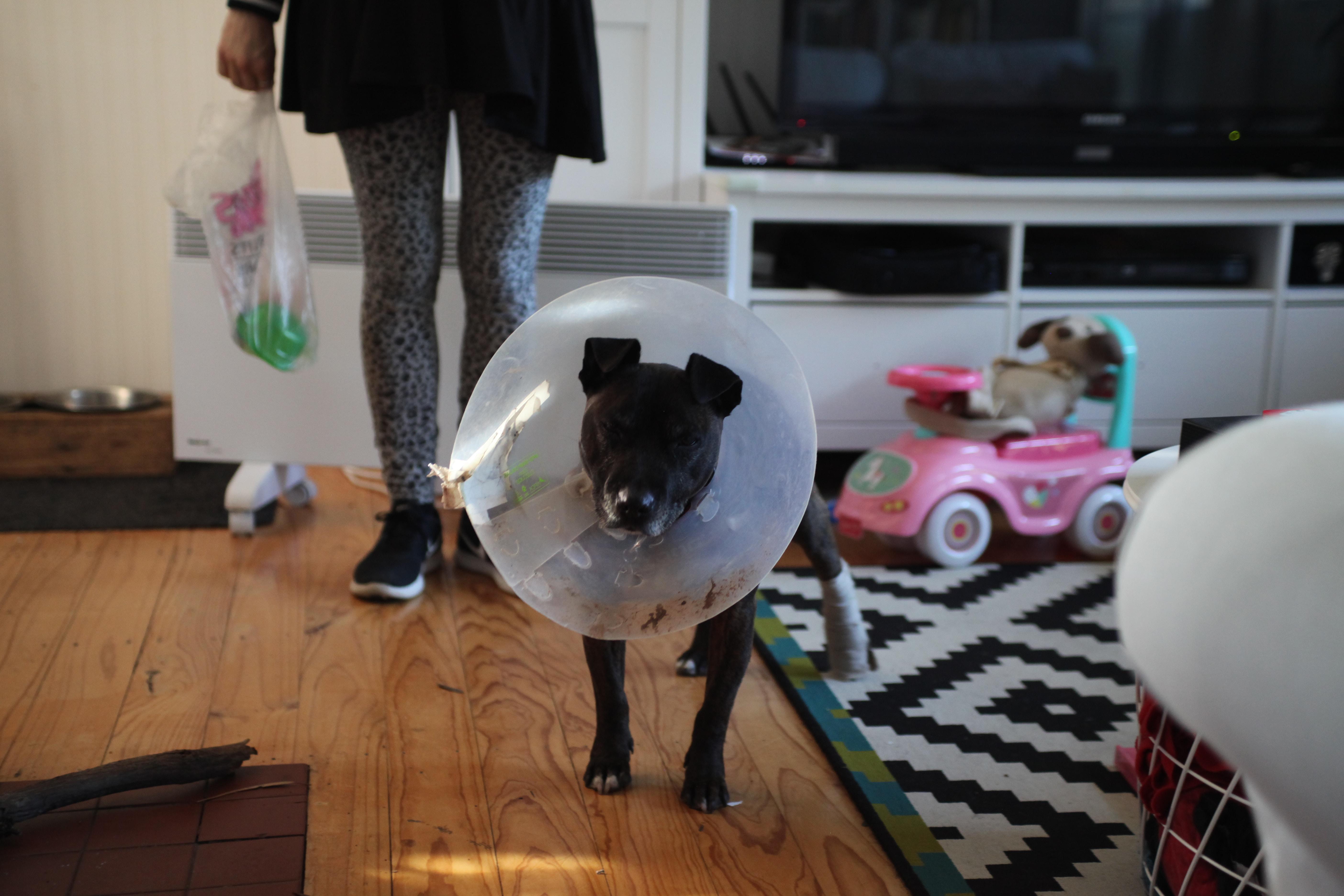 short-coated tan dog with elizabeth collar