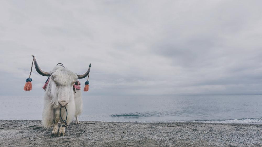 white yak standing near body of water