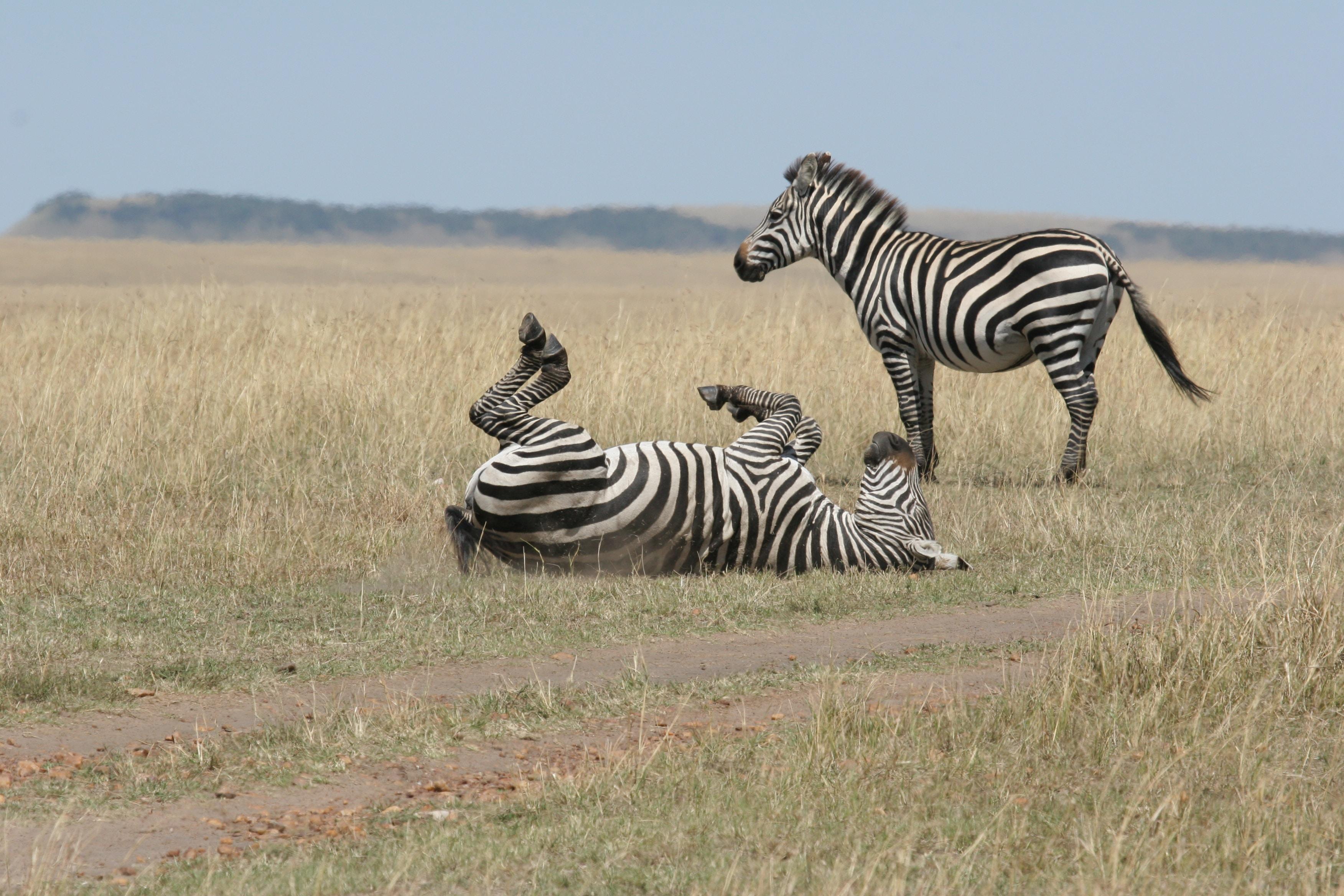 two zebras in the wildlife