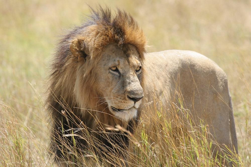 lion on green field