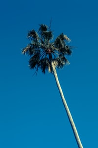 worm's-eye view of coconut tree under blue sky