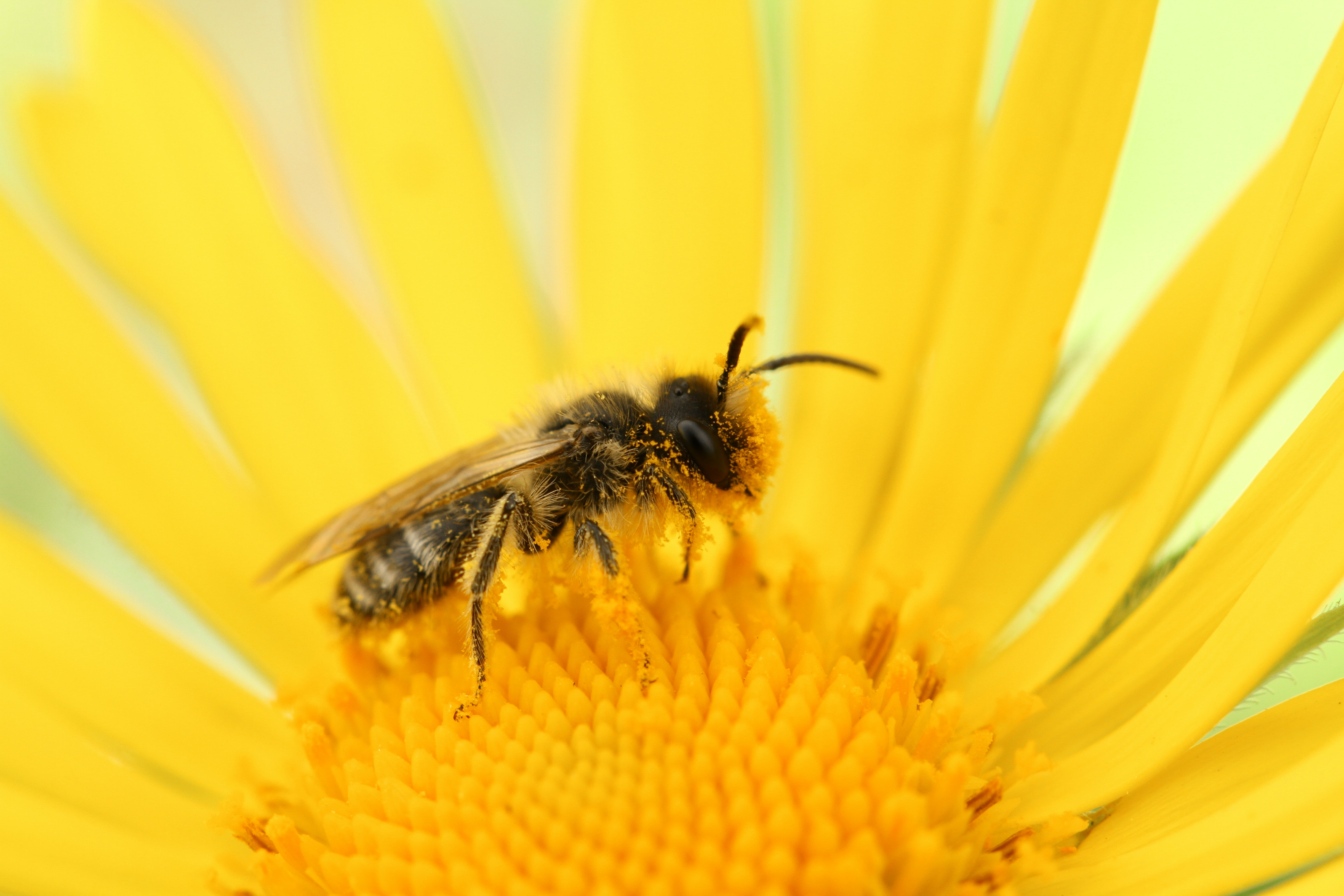 bee perched on sunflower