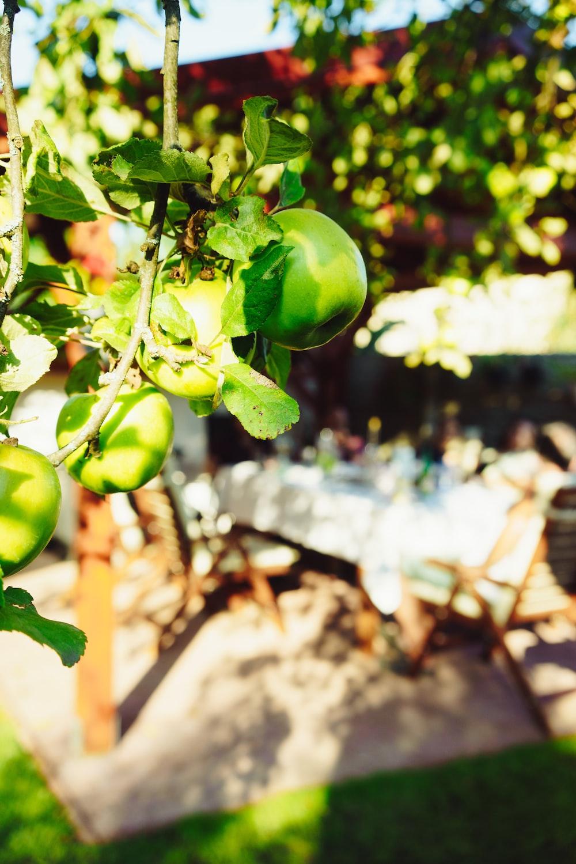 round green fruuit