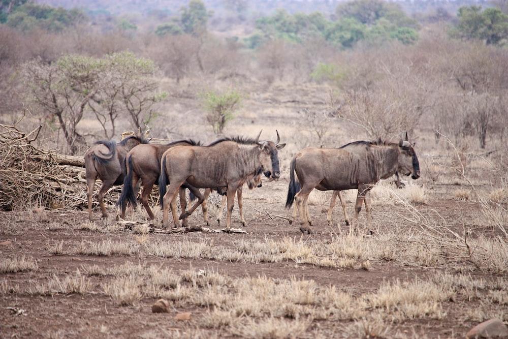 brown wildebeests standing on brown sands