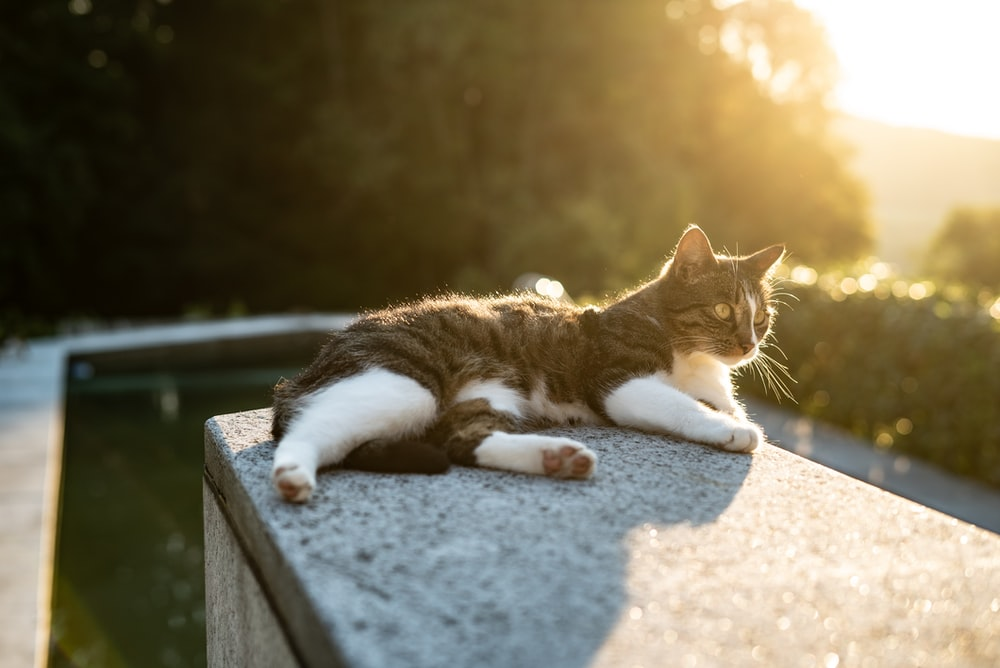 short-fur black and white cat lying on gray concrete post near green trees at golden hour