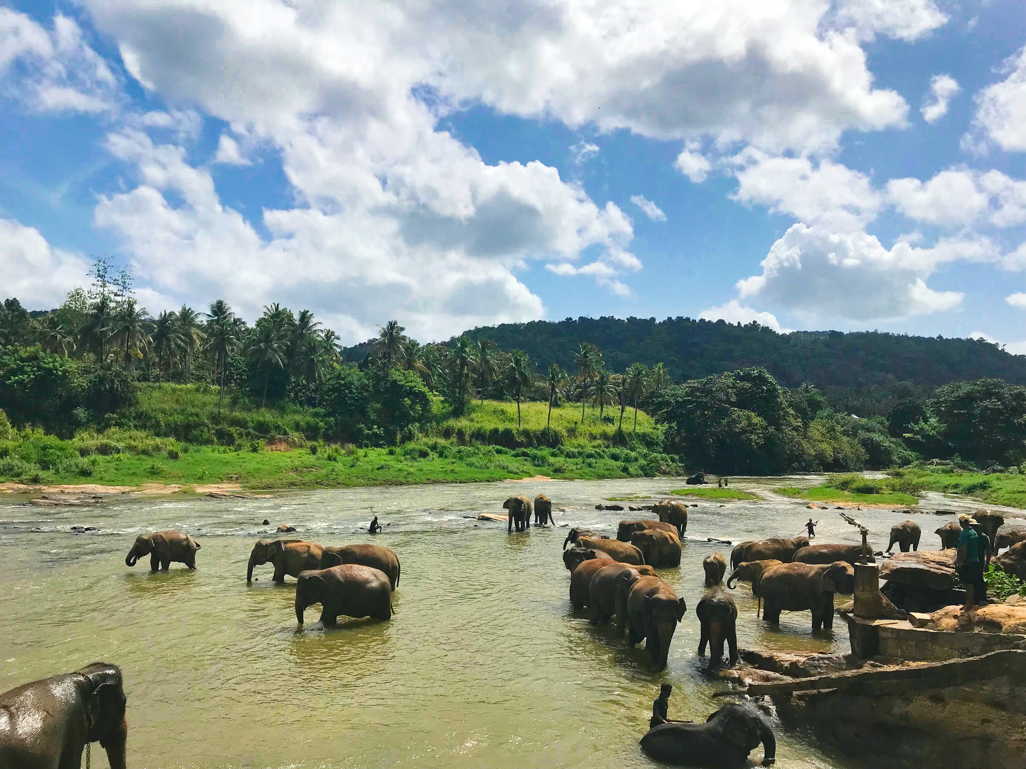 """Pinnawala Elephant Orphanage as the name suggests is home to almost 100 elephants. Around two every afternoon the elephants are brought to the river """"Ma Oya"""" for a bath. It is quite a sight to see all these beautiful animals frolicking in the river. The photo was taken in July 2018 on our latest trip to Sri Lanka. If you love elephants and want to experience them up close, visit Sri Lanka."""