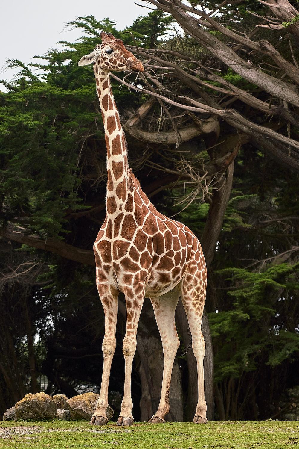 giraffe standing near tree at daytime