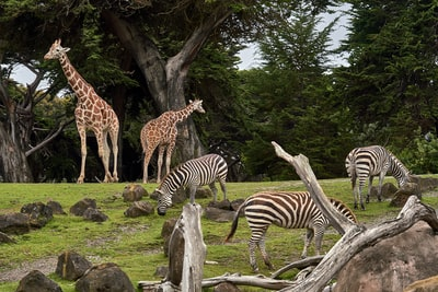 two giraffe and three zebra on green grass field under trees at daytime zoo teams background