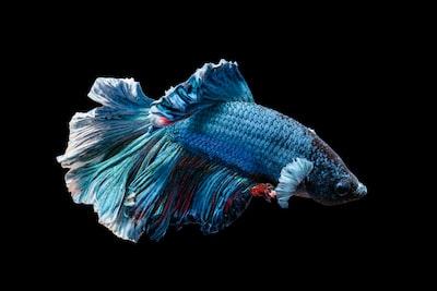 blue siamese fighting fish fish zoom background