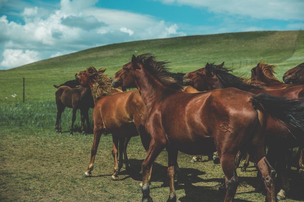 herd of brown horses