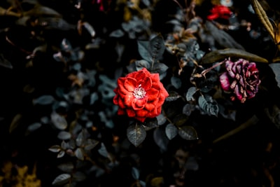 selective focus photography of red rose flower bloom teams background