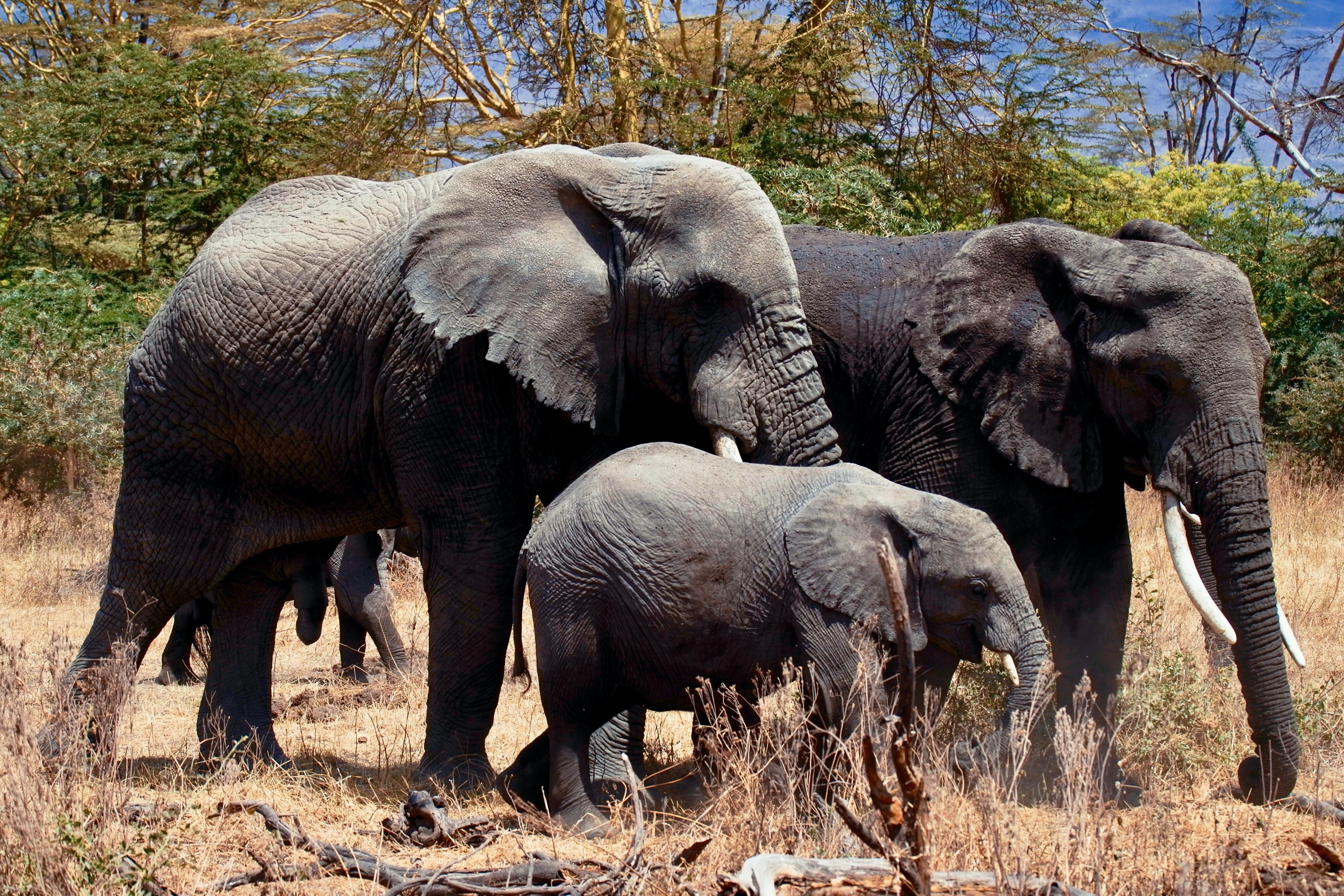 three gray elephants on ground during daytime