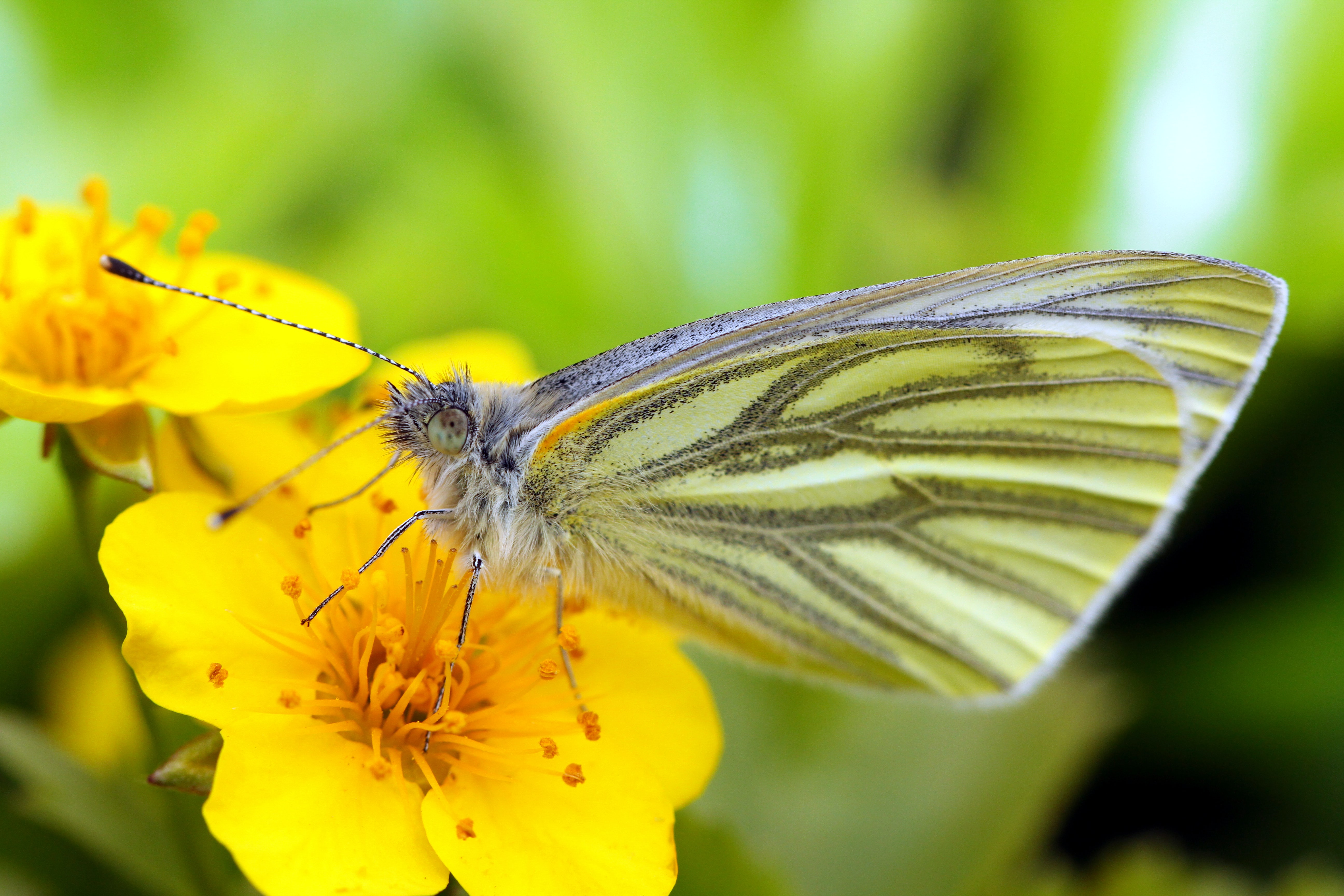 shallow focus photography of yellow and gray butterfly