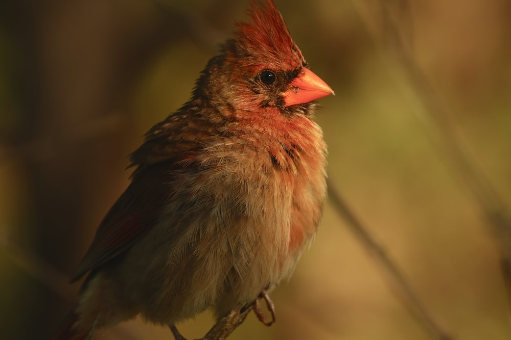 red and gray cardinal bird in selective focus photography