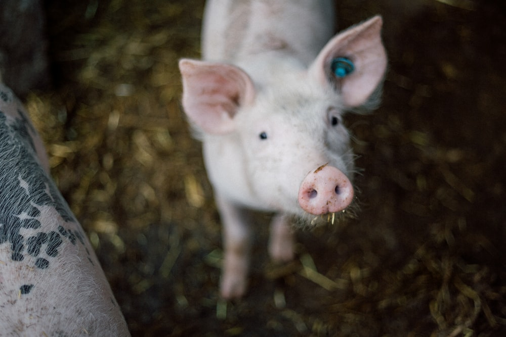 selective focus photography of white pig