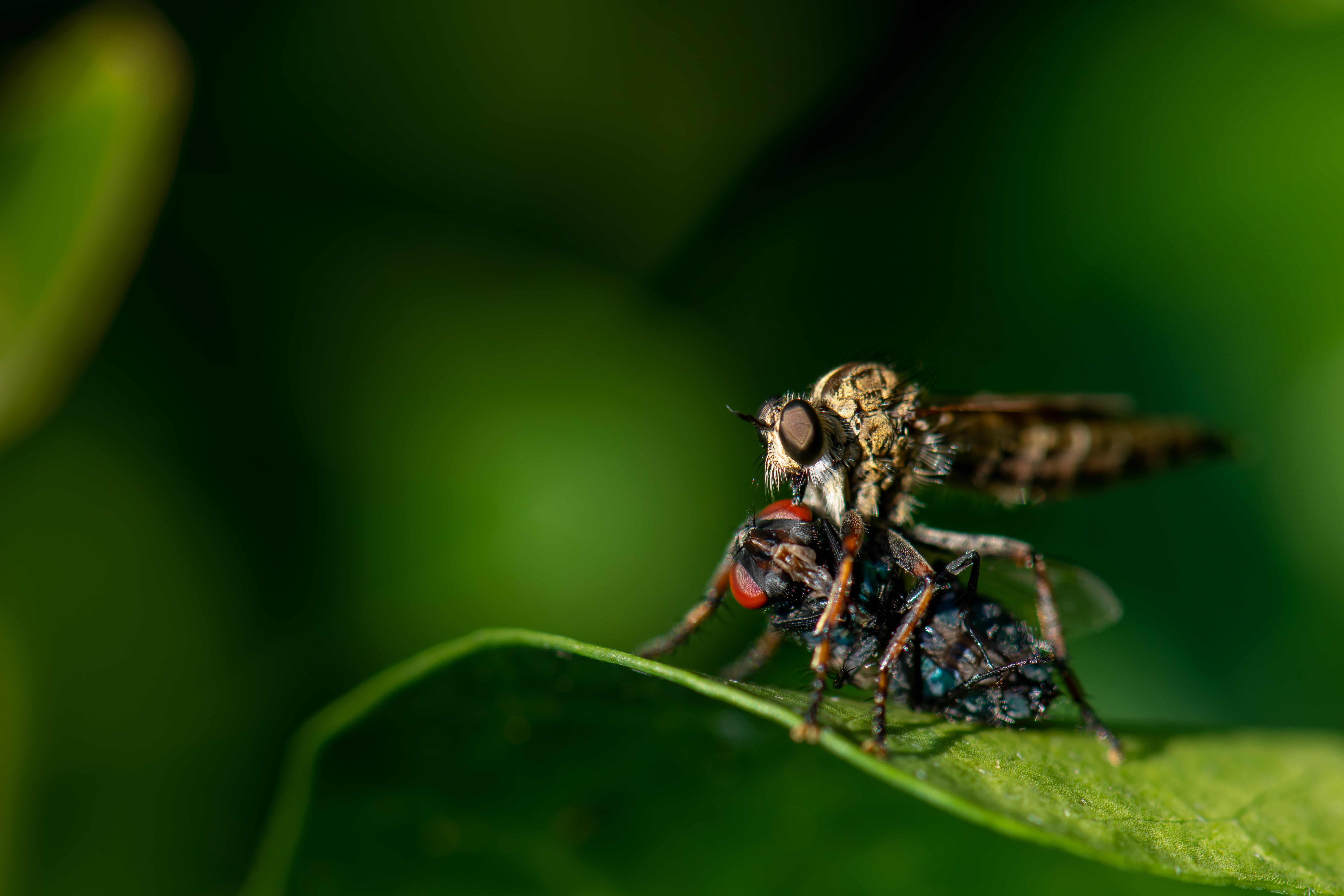 close-up photo of robberfly