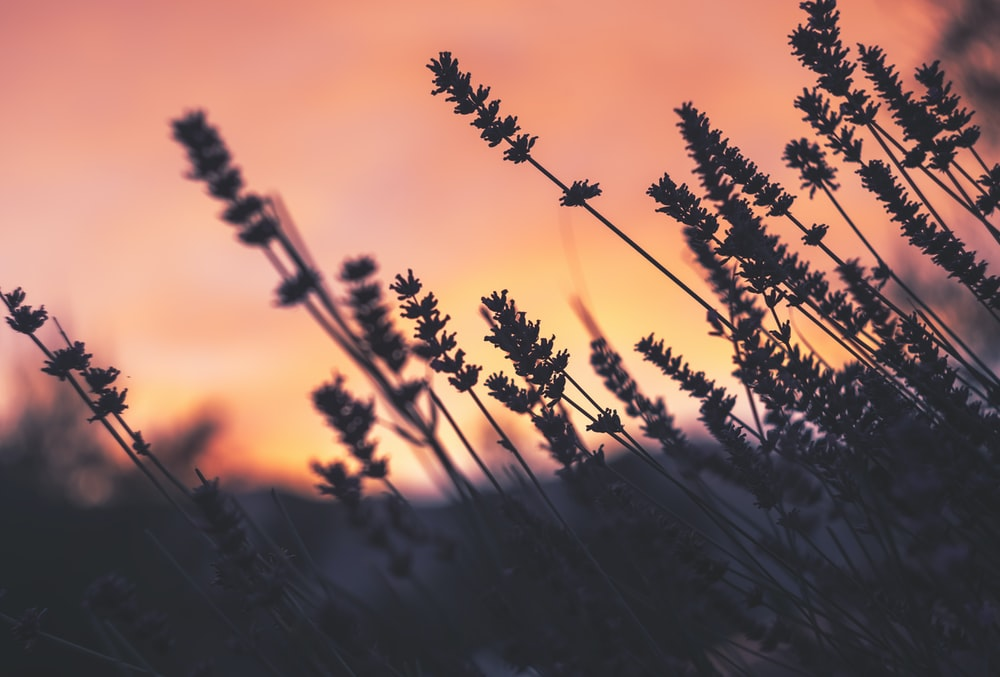 lavender flowers selective-focus photography at sunset