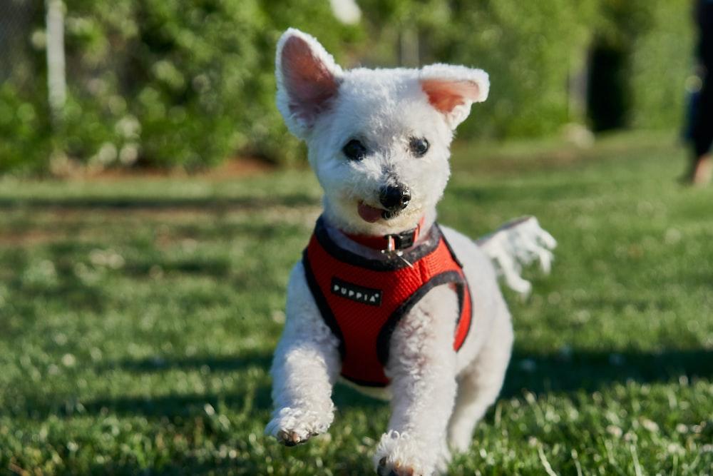 white puppy running on green grasses