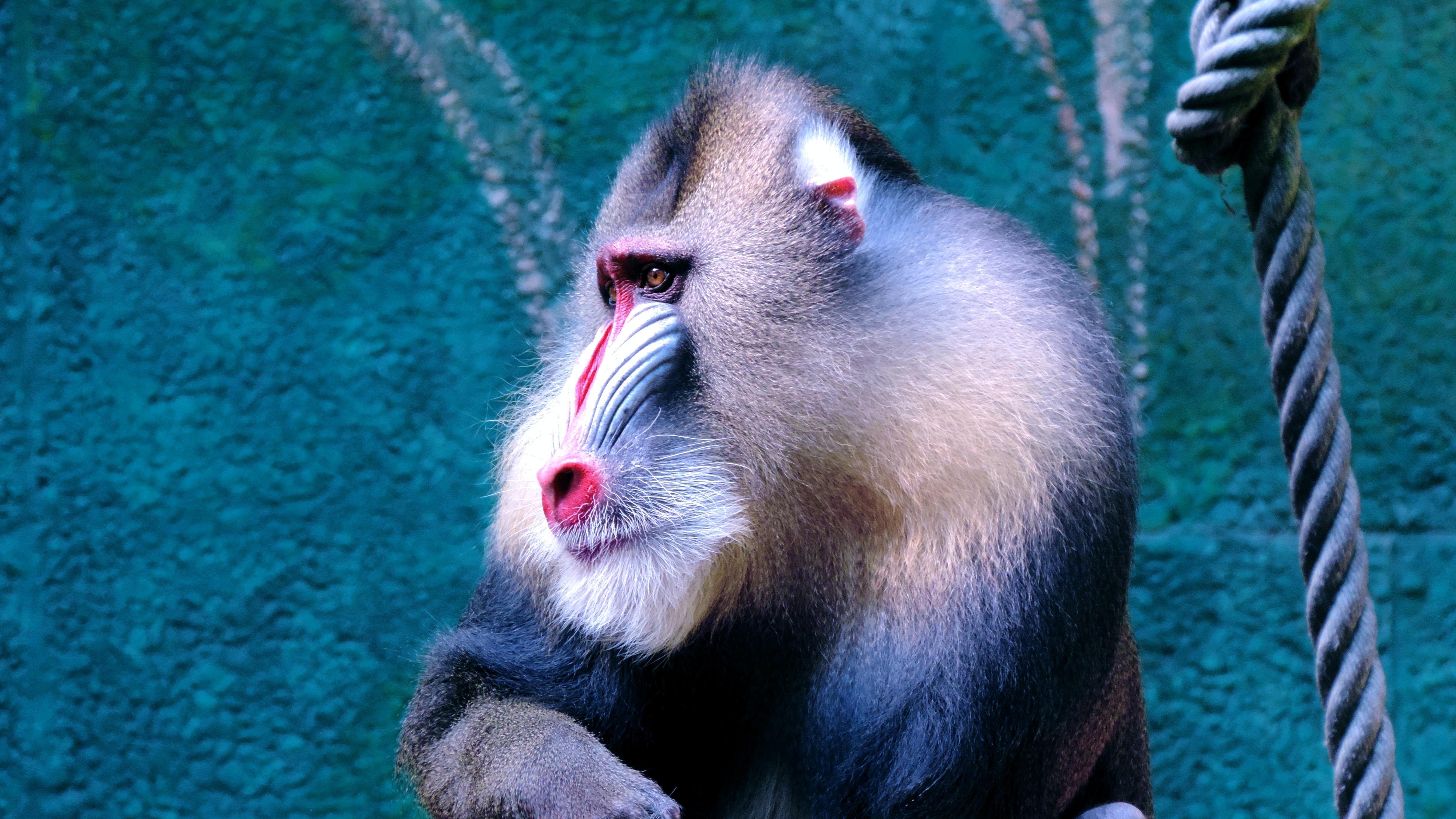 Baboon sitting beside green wall