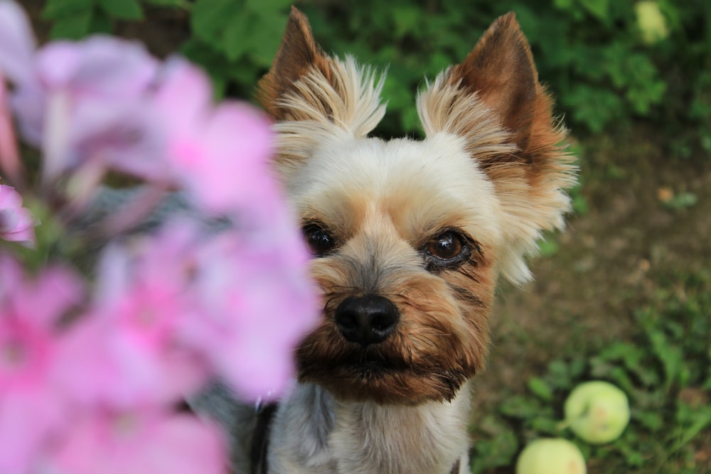 photo of brown puppy looking pink flowers