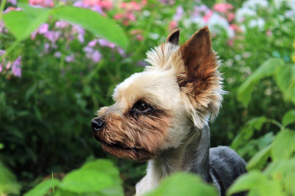 beige and black dog on flower garden