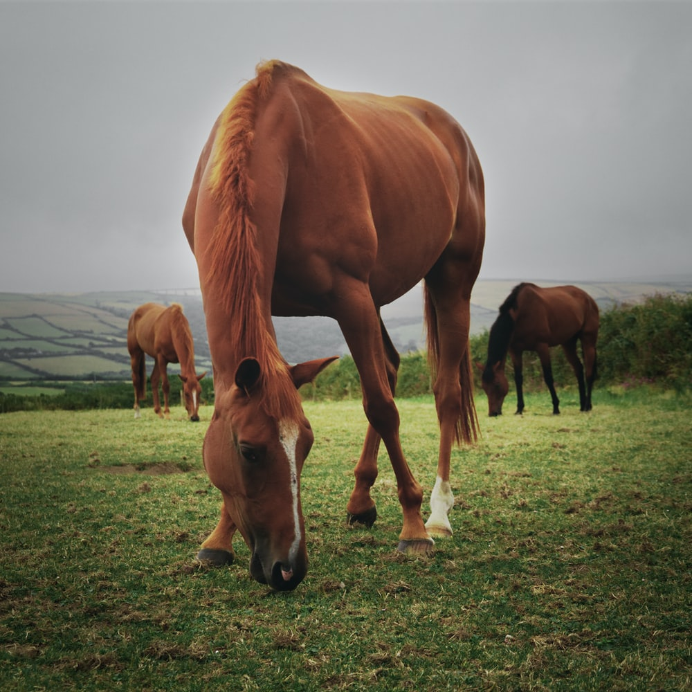 horses eating grass on field