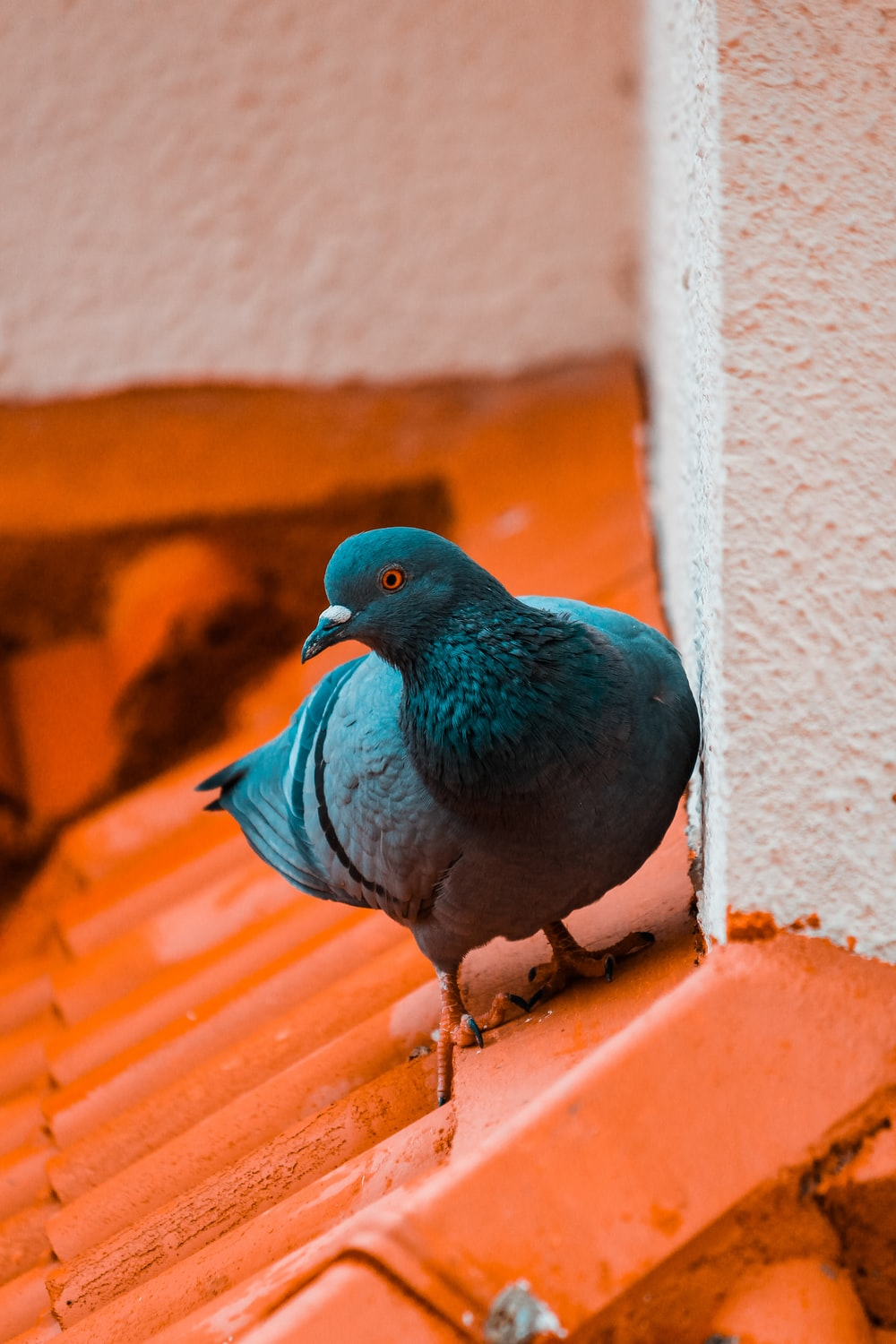 close-up photography of blue pigeon