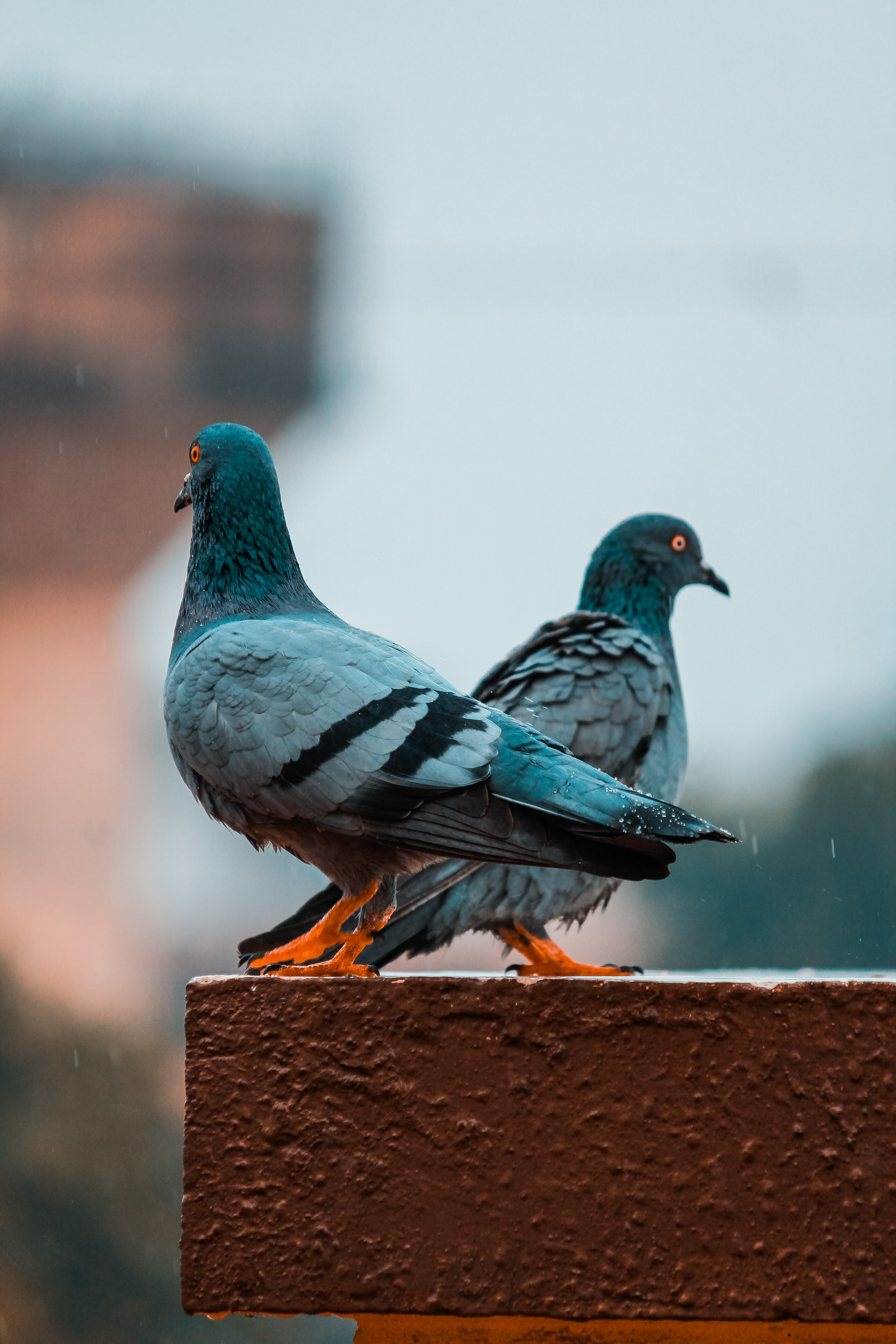 selective focus photography of two gray pigeons