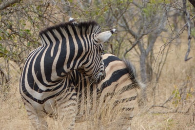 white and black zebra in woods stripe zoom background