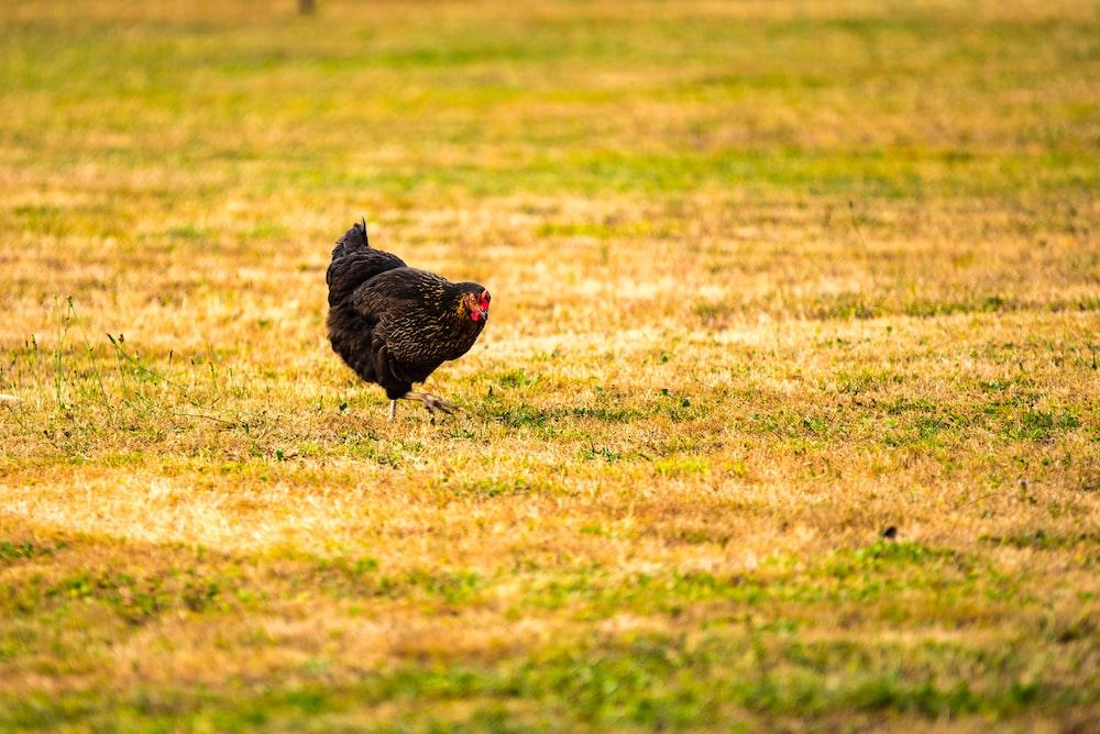 black chicken on grass area
