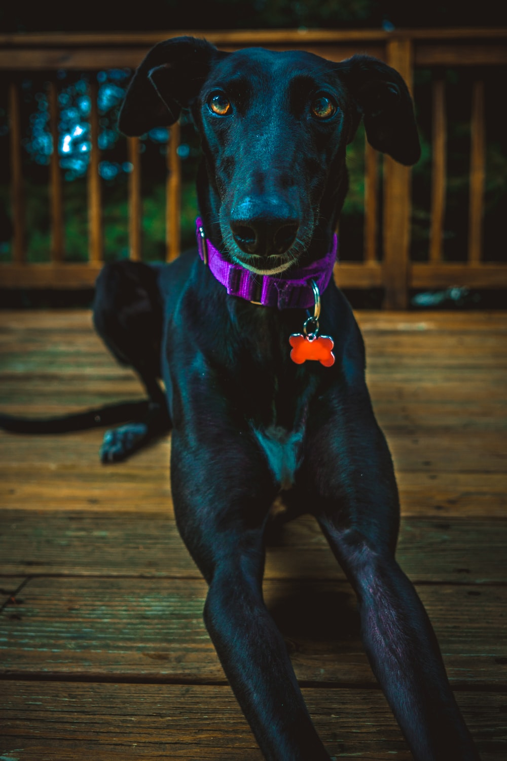 black Labrador dog laying on wooden surface