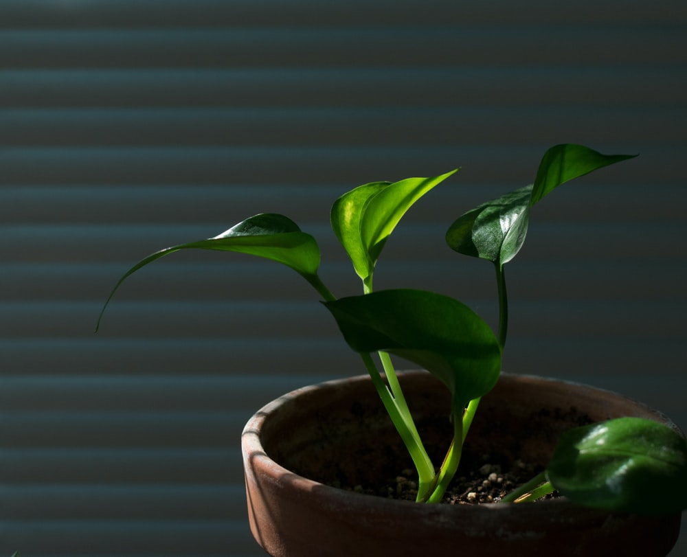 golden pothos potted plant closeup photography