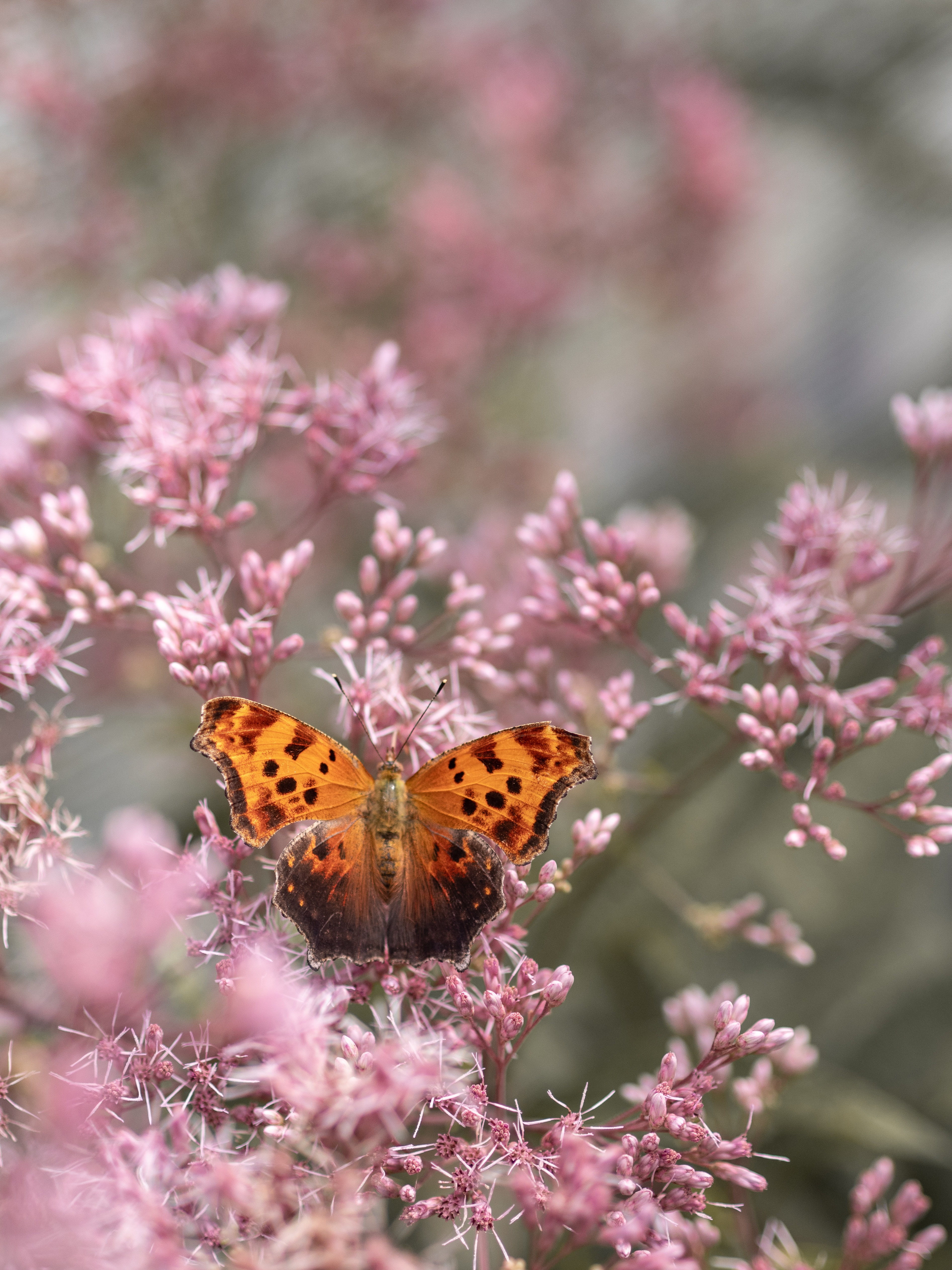 brown and black butterfly perched on pink flower