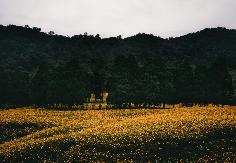 yellow flower field and silhouette of trees