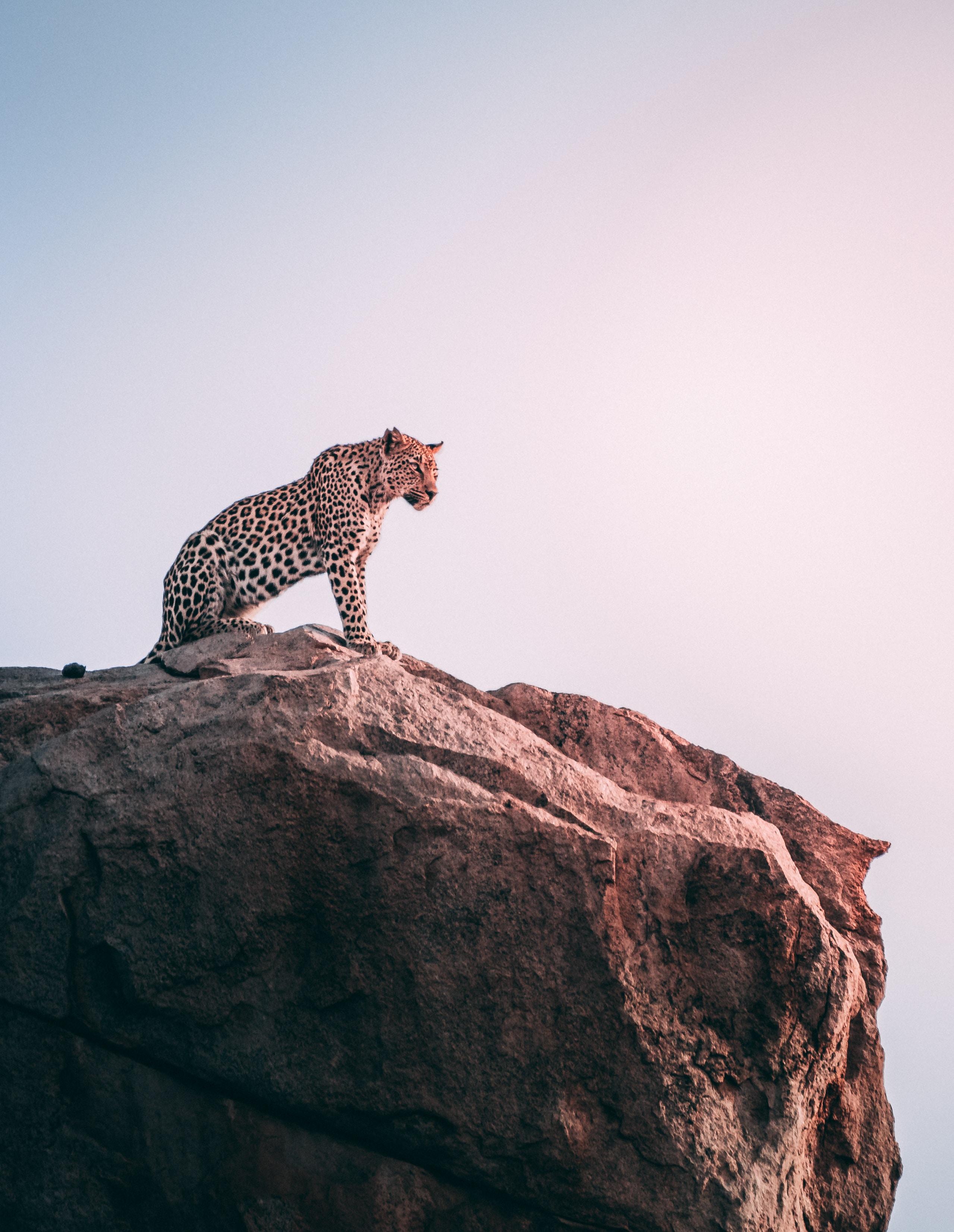 brown leopard on top of grey rock