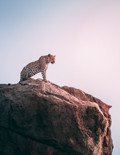 brown leopard on top of grey rock