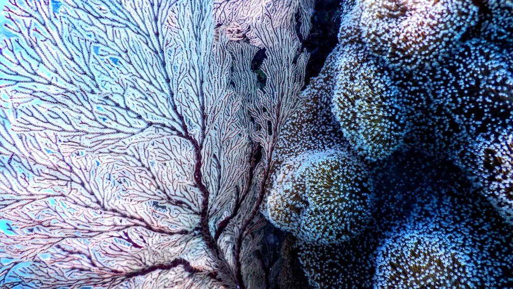 white and blue corals
