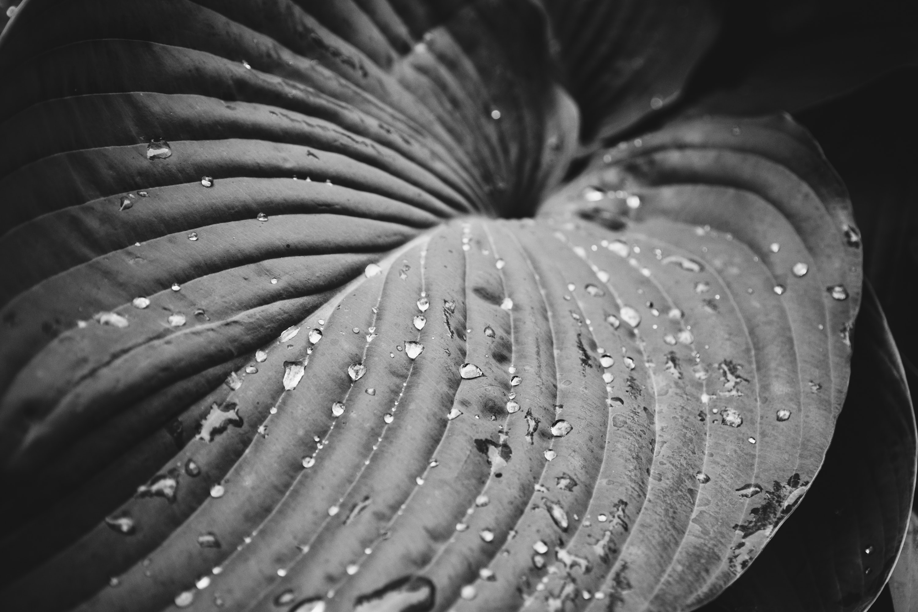 grayscale photography of leaf