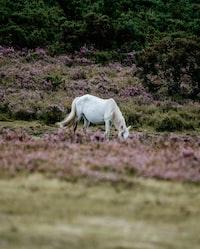 white horse on purple petaled flowers