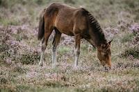 Foal grazing in heather