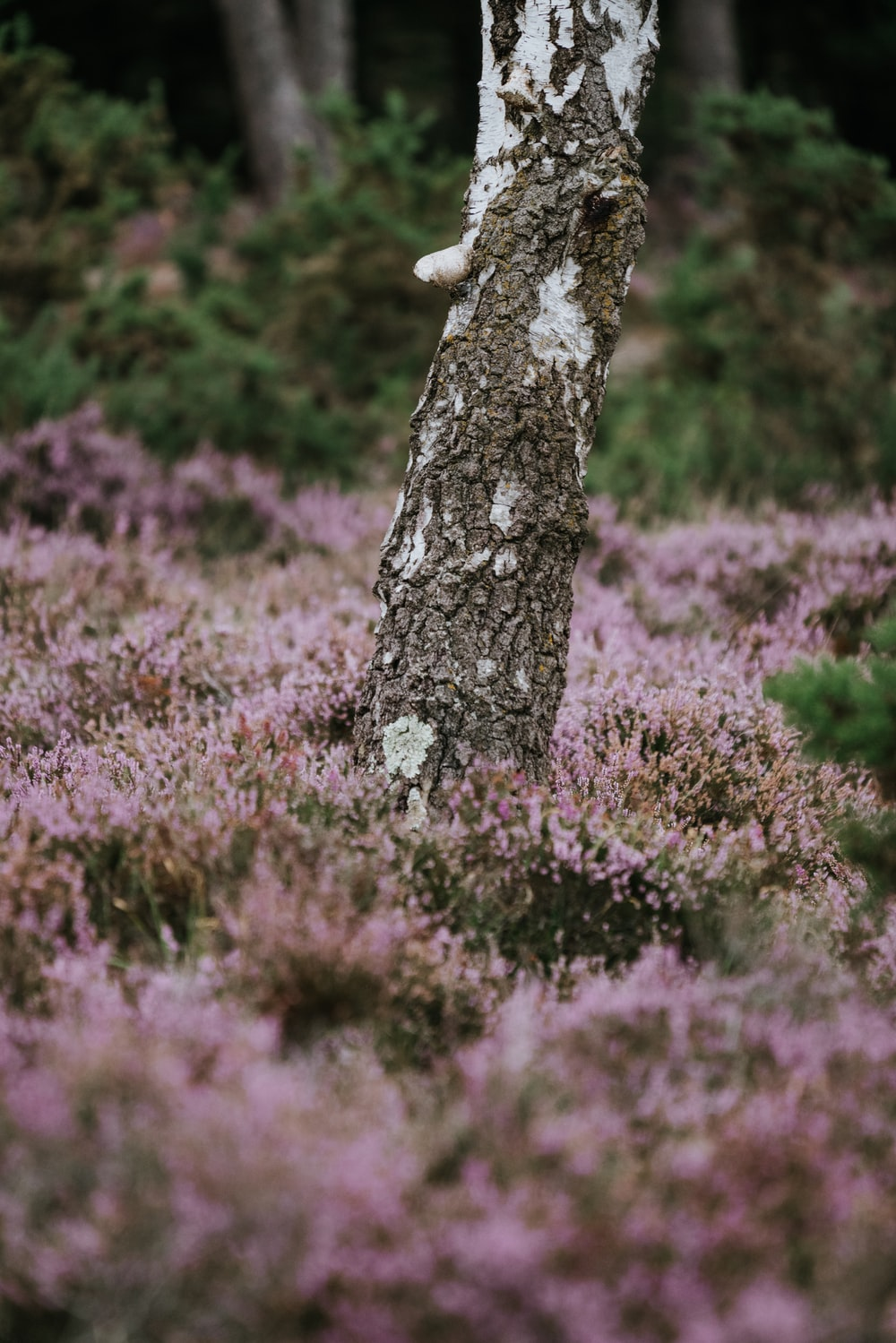 close-up photo of gray and white tree trunk surrounded with flowers