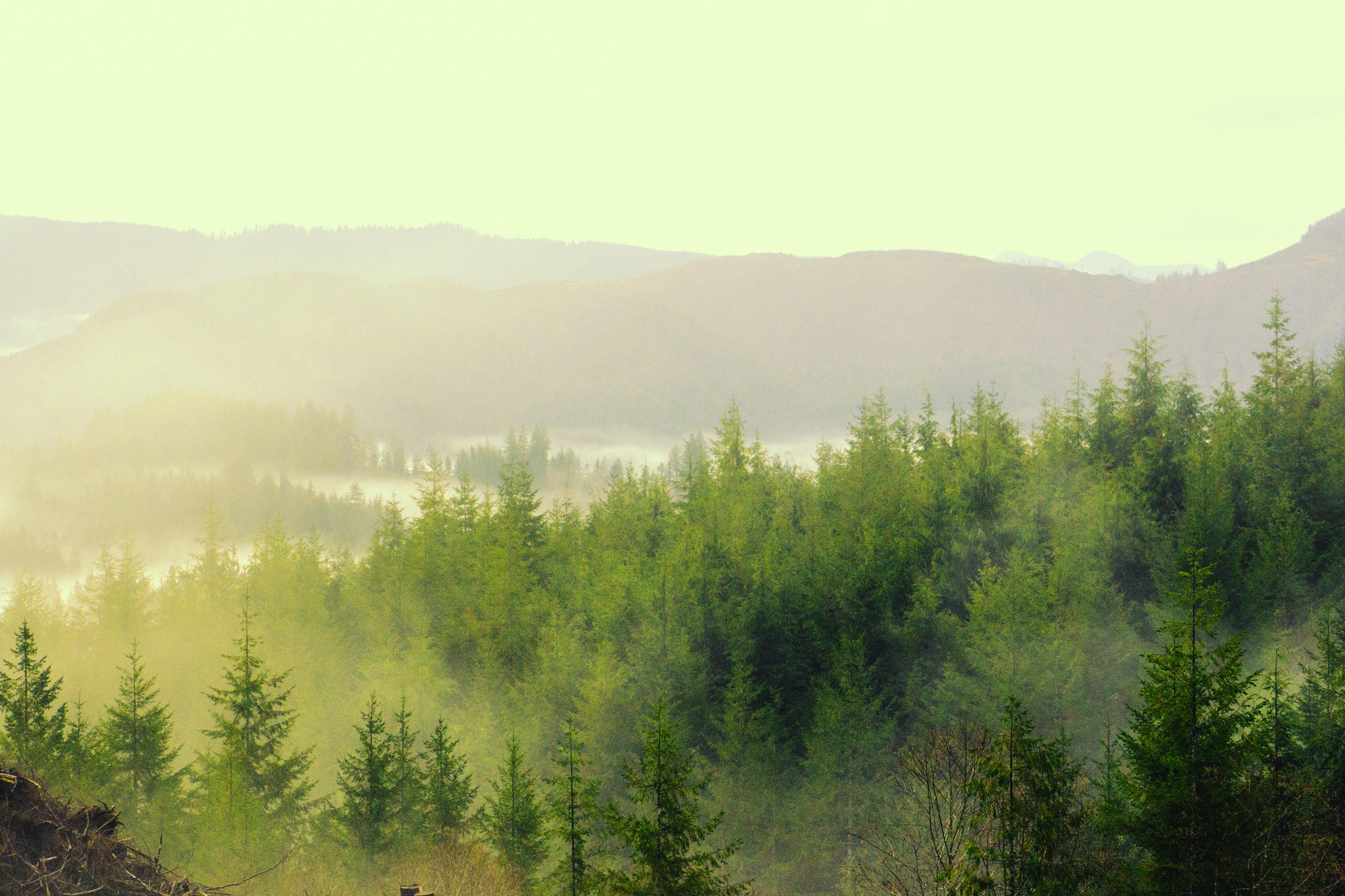 pine trees painting