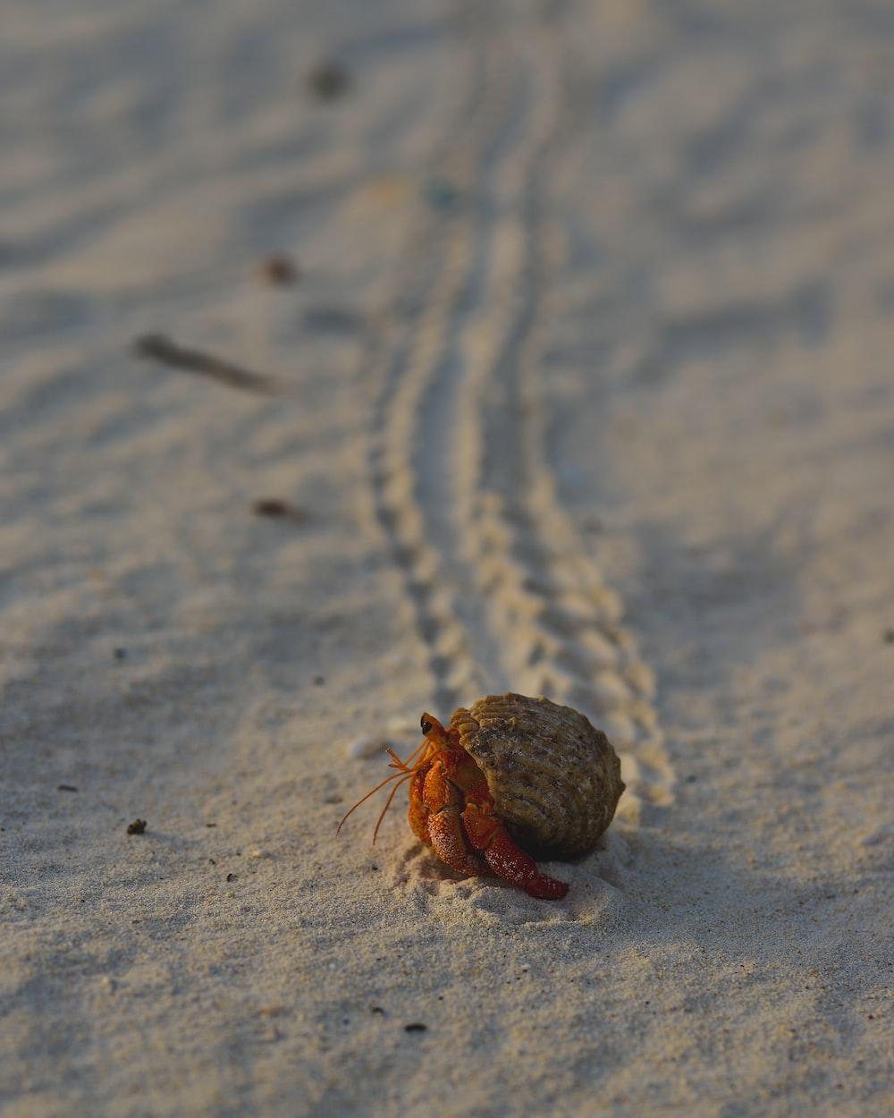 brown hermit crab