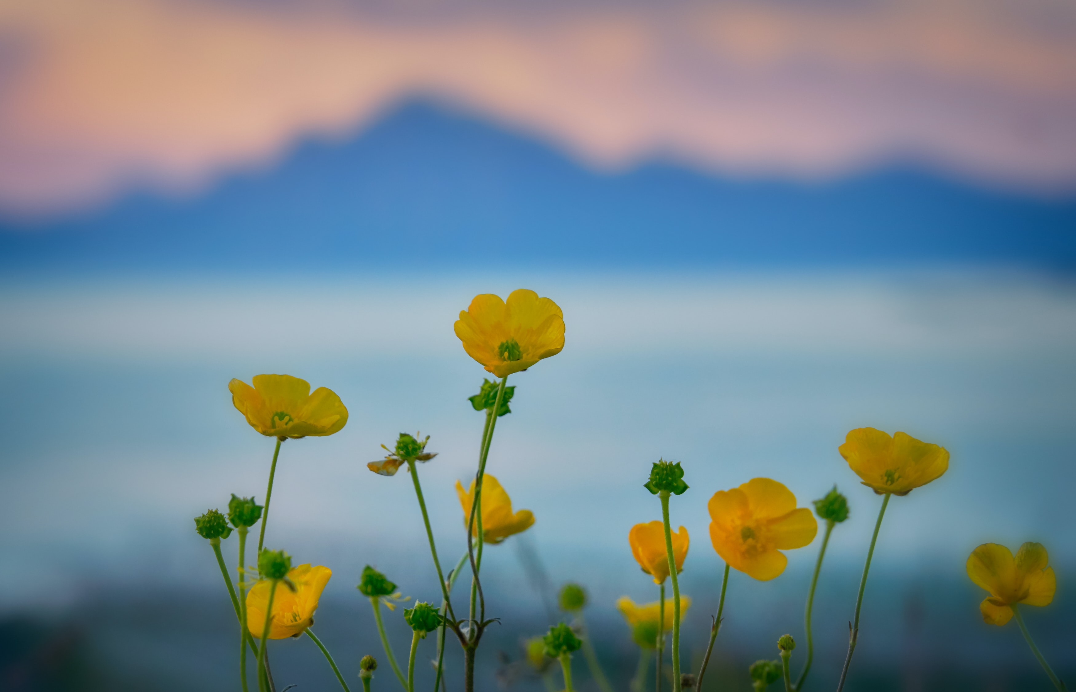 selective focus photography of buttercup flowers
