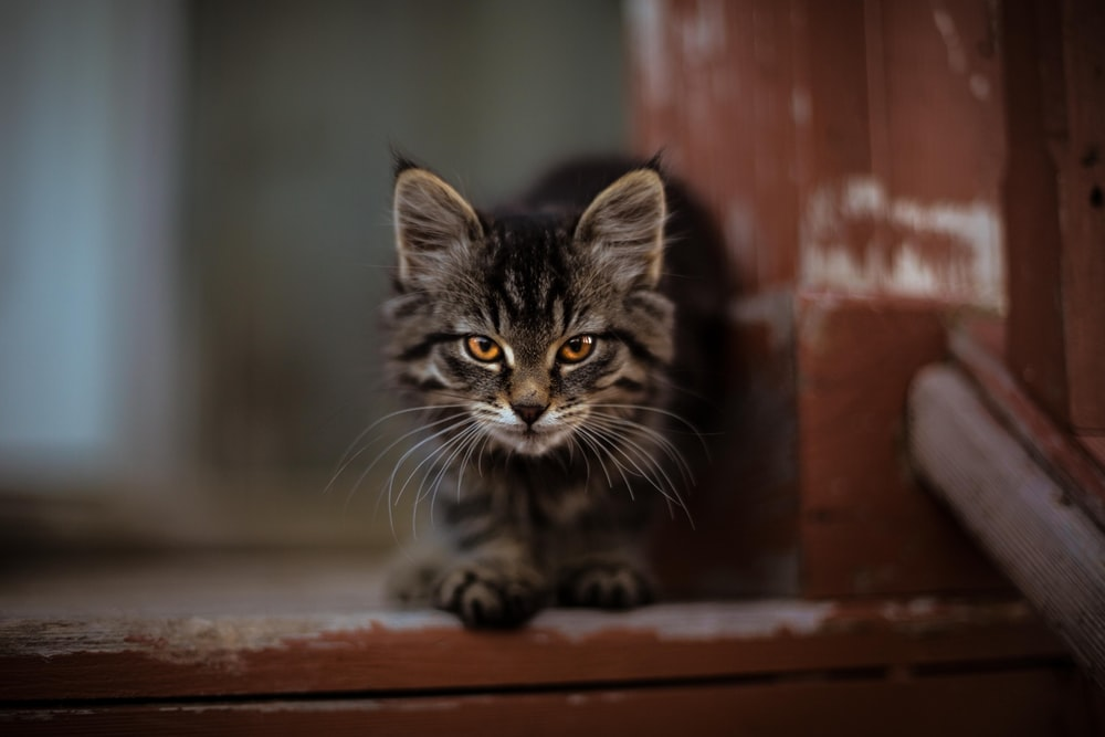 gray tabby cat sitting on brown wooden surface