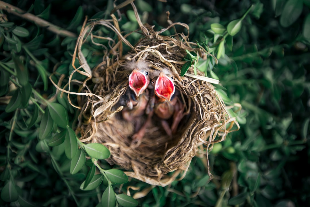 While getting our yard ready for the summer, I was manually trimming the hedges and heard soft chirps coming from above me. Pushing up on my toes, I came across this nest built into our hedge in front of our home! Their mother returned shortly after and the hedge was left uncut until they left that summer.