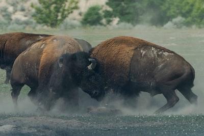photo of fighting bison bison zoom background