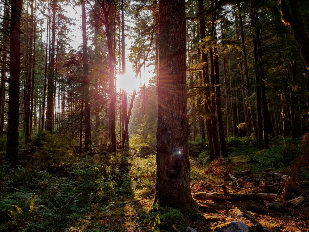 sun piercing on trees taken during daytime