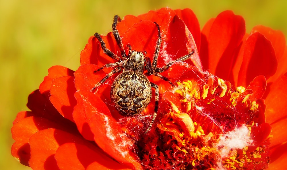 closeup photo of barn spider on red flower